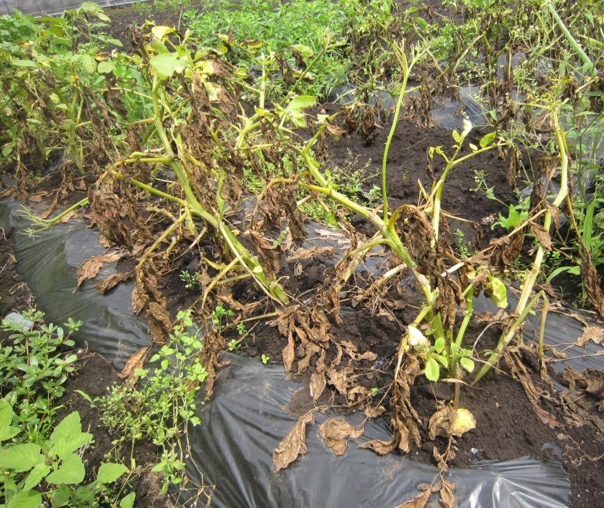 ジャガイモ の 収穫 期