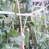 20060520_gurinnpisu