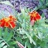 20060610_marigorudo