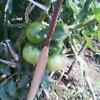 20060708_tomato
