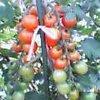 20060722_tomato1
