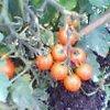 20060722_tomato2